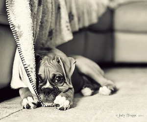 boxer, puppy, and sweet image