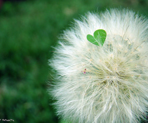 dandelion, green, and heart image