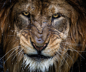 animals, landscape, and lion image