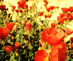 flowers, Texas, and poppies image
