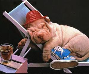 shar pei and not a fucking pug image