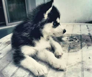 adorable, blue eyes, and husky image