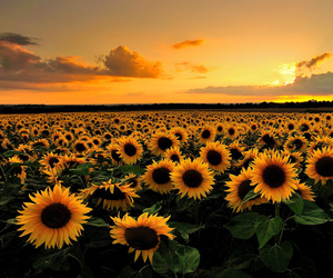 hd, hq, and sunflowers image