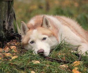 dog, husky, and siberian image