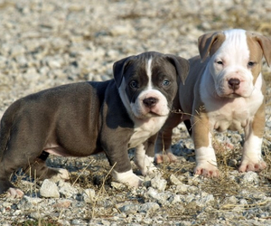 adorable, pitbull, and puppies image