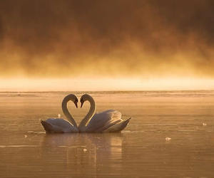 sunset, cute, and swans image