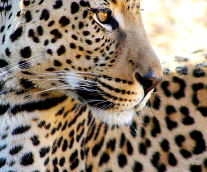 animal, beautiful, and leopard image