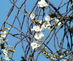 cherry blossom, simple, and sky image
