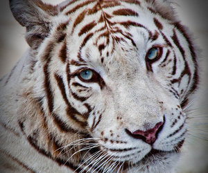 tiger, wild, and cute image