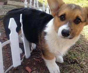 cute, dog, and corgi image