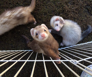 ferret, pet, and huron image