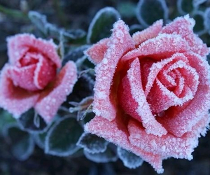 flowers, rose, and cold image