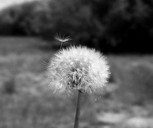 flowers, black and white, and dandelion image
