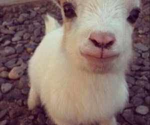 adorable, baby, and lamb image