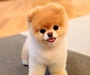 boo, pomeranian, and puppy image