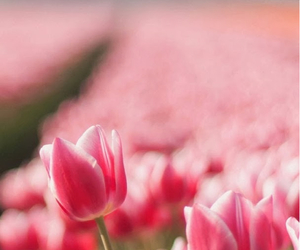 lovely, pink, and flowers image