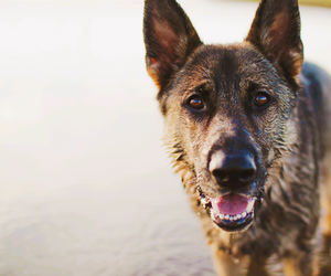 dog, german sheperd, and gsd image
