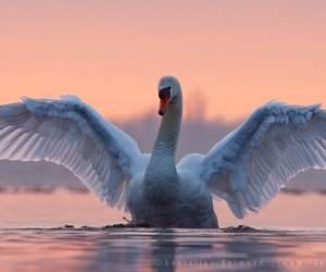 animal, beautiful, and Swan image