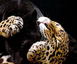 animal, panther, and cat image