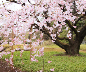 beautiful, cherry blossom, and landscape image