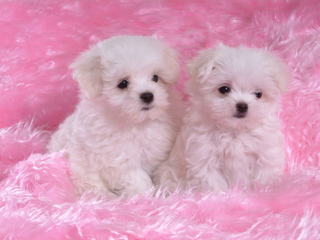 Two White Puppies On Pink Carpet Cute Wallpaper