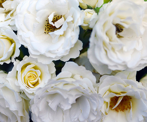 inspiration, roses, and white image