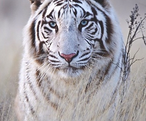 animal, Rogue, and white tiger image