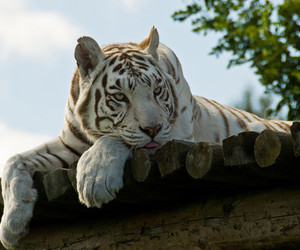 tiger, white tiger, and animal image