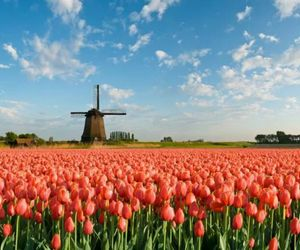 tulips, flores, and flowers image
