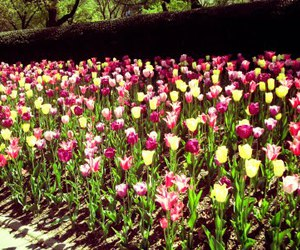 Central Park, nyc, and tulips image