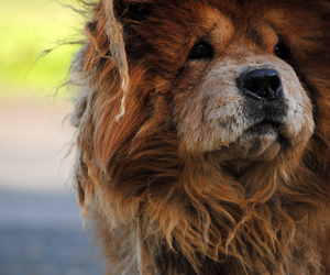 animal, aww, and chow chow image