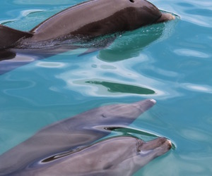 animal, dolphin, and love image