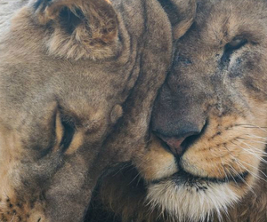 lions and love image