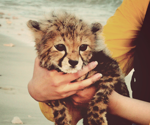 baby, cub, and baby leopard image