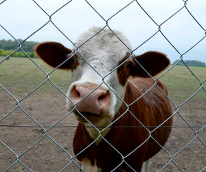 cows, cute, and green image