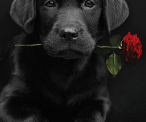 dog, rose, and black image