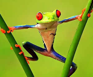 frog, green, and grenouille image
