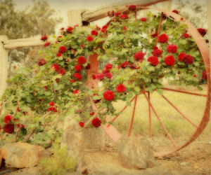 rose, vintage, and red image