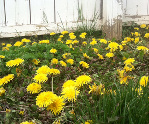 beautiful, spring, and dandelions image