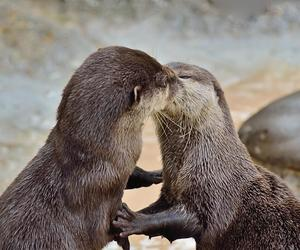 couple, kiss, and loutre image