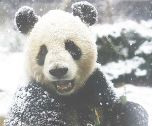 panda, animal, and snow image