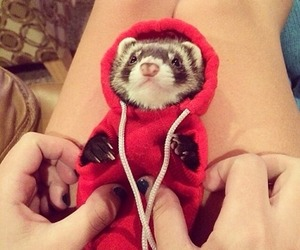 huron and ferret image