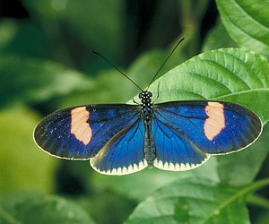 blue, butterfly, and sp. heliconis image