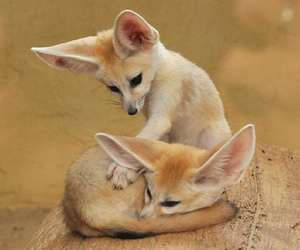 fox, animal, and fennec fox image