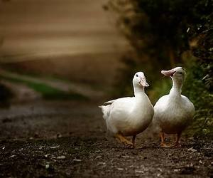 duck and geese image