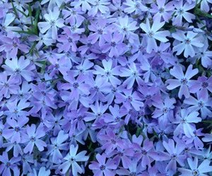 flowers, background, and purple image