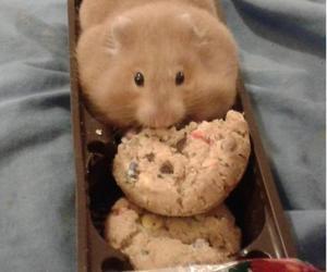 hamster, Cookies, and animal image