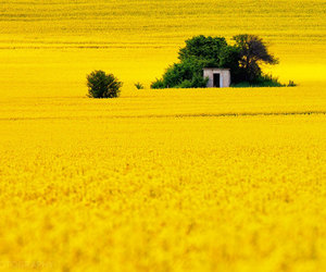 yellow and field image