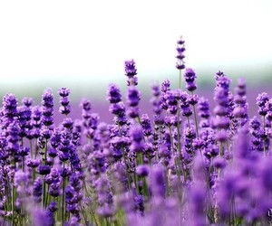 flowers, purple, and lavender image