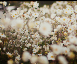 daisy, flowers, and floral image